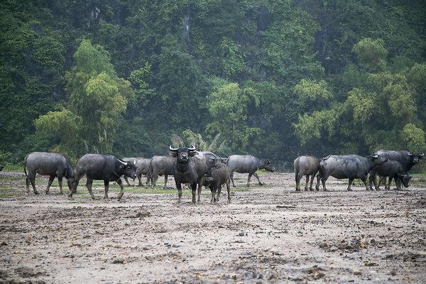 water buffalo001
